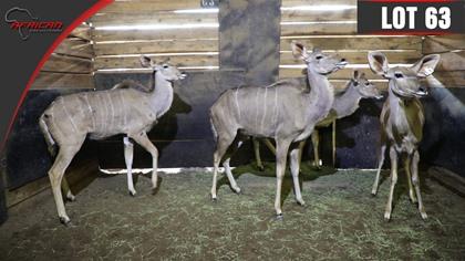 "Kudu (In Calf to Dr T 65"" Breeding Bull)"
