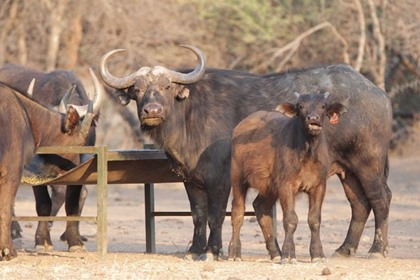 Buffalo Cow & 2 Heifer Calves (4 IN 1)