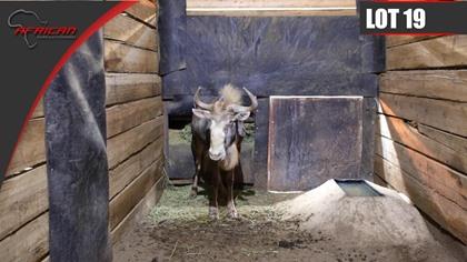 Kings Wildebeest