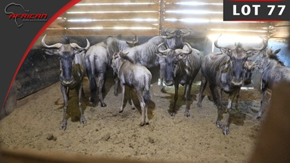 King Wildebeest Split