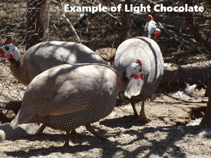 Light Chocolate Guinea Fowl