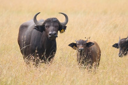 Buffalo Cow + Bull Calf