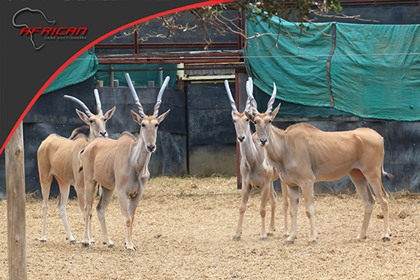 Eland Family Group
