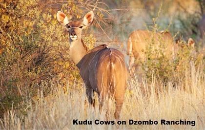"""Kudu Cows running with 65"""" Bull"""