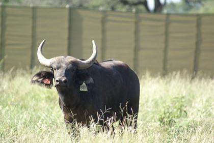 Buffel Bul / Buffalo Bull