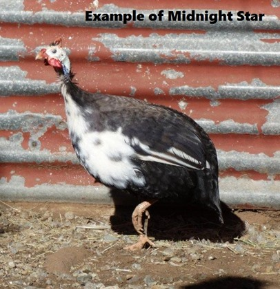 Midnight Star Guinea Fowl