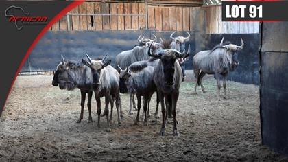 Split Kings Wildebeest