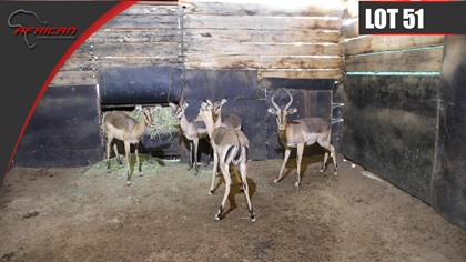 Saddleback Impala