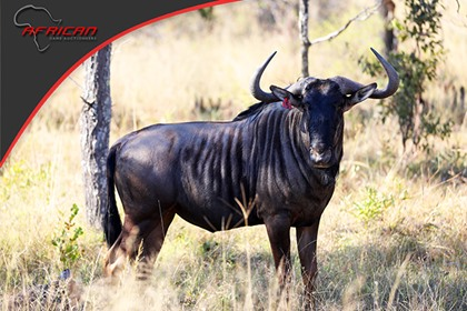Blue Wildebeest  (THE ULTIMATE BREEDING BULL !!!!!!)