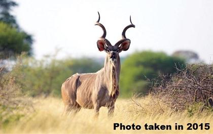"""65"""" Kudu Bull"""