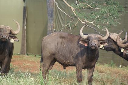 Buffel Bul / Buffel Bull
