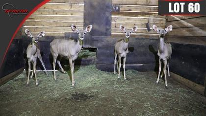 """Kudu ( Progeny of 65"""" Breeding Bull )"""
