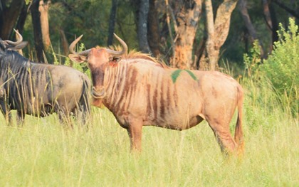 Golden Gnu Cow