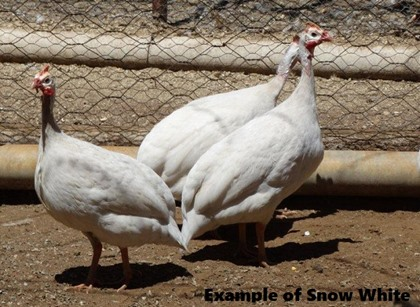 Snow White Guinea Fowl