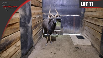 Nyala - YOUNG BULL WITH GREAT POTENTIAL !!!