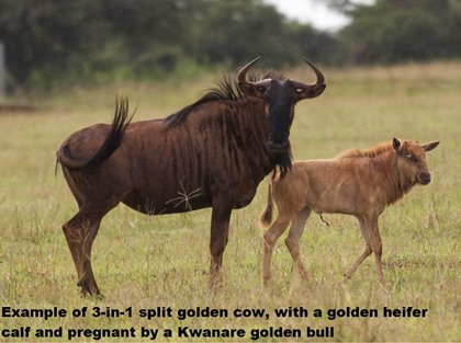 Golden Wildebeest Splits