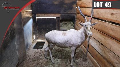 White Blesbuck