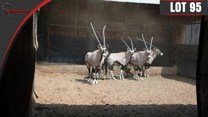 Bushveld Oryx