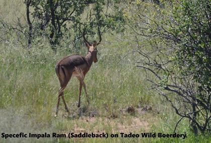 Impala Ram (Saddleback)
