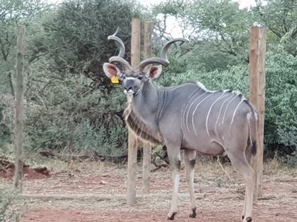 """60 1/8"""" Kudu Bull"""