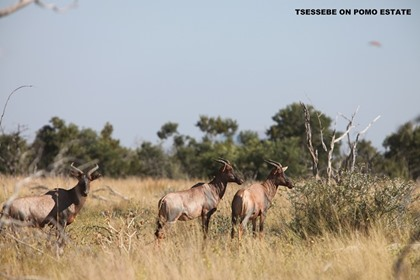 Tsessebe Breeding Group