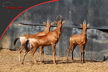 Red Hartebeest Family Group