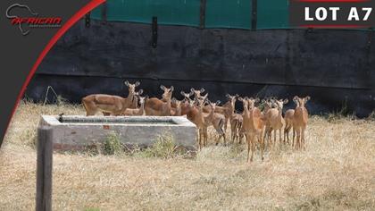 Royal Impala Breeding Project