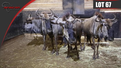 Split Blue Wildebeest