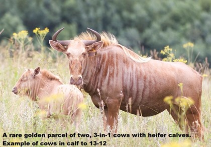 Golden Wildebeest